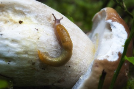 fungous: Snail moving on a Boletus Mushroom, Dolomites Woods, Italy