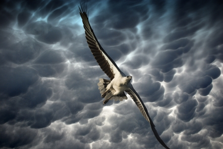 young bird: Eagle in the Stormy Sky, Whitsunday Islands, Australia Stock Photo