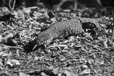 Monitor Lizard in the Whitsunday Islands Archipelago Stock Photo - 8897178