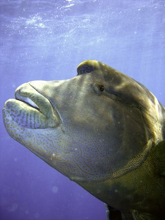 Humphead Maori Wrasse Face on the Great Barrier Reef, Queensland, Australia Stock Photo - 9332654