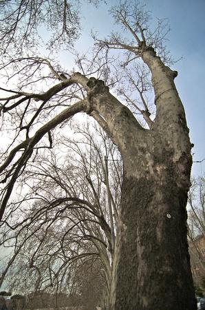 Bare Tree near Lungotevere in Rome, Italy photo