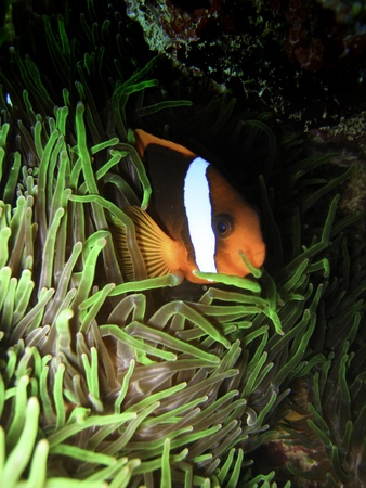 Nemo Fish on the Great Barrier Reef in Queensland, Australia Stock Photo - 9708210