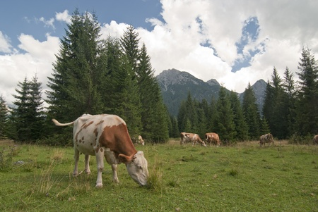 Grazing Animals on Dolomites Meadows, Northern Italy photo