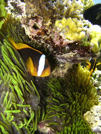 Nemo Fish on the Great Barrier Reef in Queensland, Australia Stock Photo - 12452483