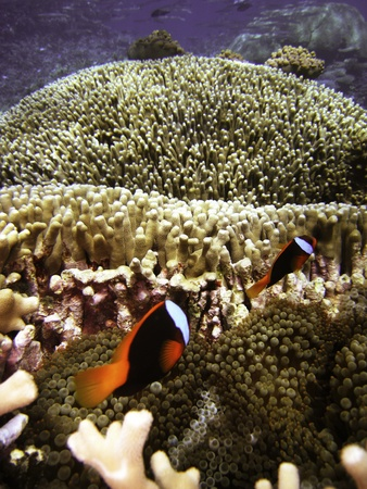 freshwater clown fish: Nemo Fish on the Great Barrier Reef in Queensland, Australia Stock Photo