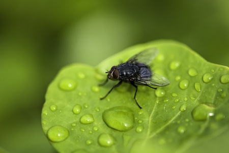 Black Fly on a Wet Green Leaf in Cannes, France Stock Photo - 12415485