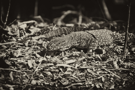 Monitor Lizard in the Whitsunday Islands Archipelago Stock Photo - 13732294