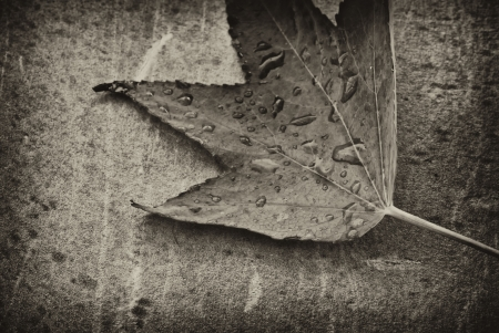 Autumn Leaf over a Gray Background, Italy photo