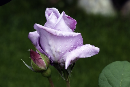 Purple Rose with Water Drops, Italy photo