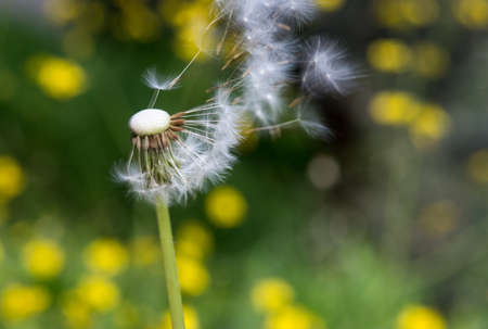 Dandelion seed head bevor green background, Taraxacum flower  photo