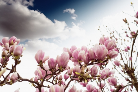Magnolia Tree Blossom, Spring Season. photo