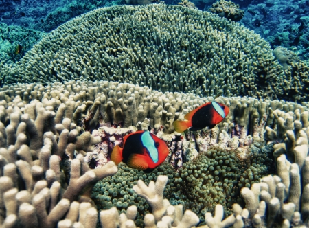 Pomacentridae, Clown Fish or Anemone fish in Queensland Coral Reef. photo