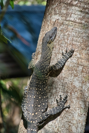Lace Goanna (Varanus varius) or lace monitor - Lizard in the Whitsundays - Australia. photo