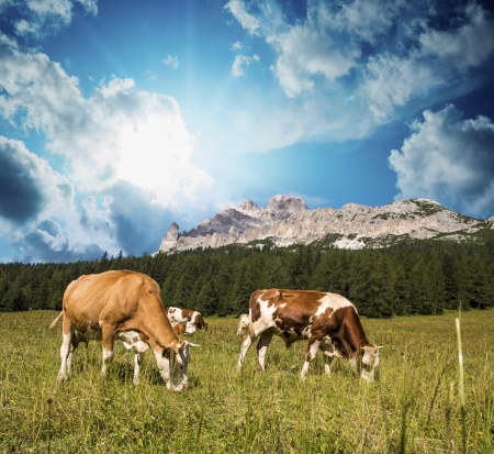 Grazing cows on Dolomites Mountains near Cortina dAmpezzo. photo
