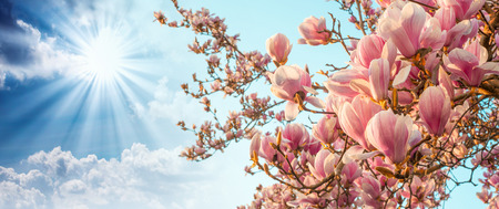 Magnolia tree blossom with colourful sky on background. photo