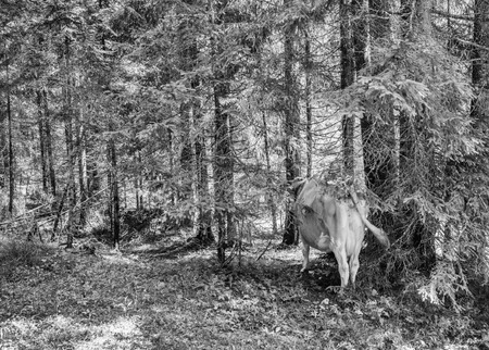 Cows in the woods. Landscape photo of animals and trees. photo