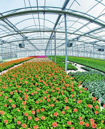 Jonge planten groeien in een zeer grote plantenkwekerij. Kasomgeving.