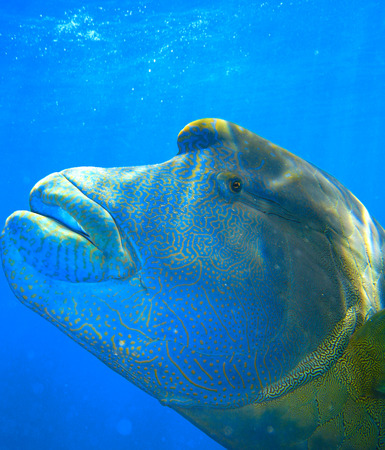 napoleon wrasse: Colorful Napoleon Wrasse - Queensland Coral Reef Fish.