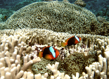 clown fish: Pomacentridae, Clown Fish or Anemone fish in Queensland Coral Reef.