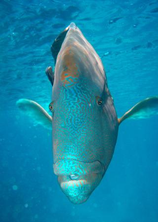 napoleon wrasse: Napoleonfish - Australian Coral Reef. Stock Photo
