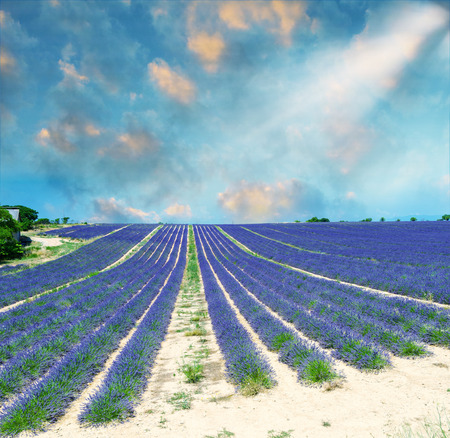 lavendin: Beautiful lavender fields of Provence, France in July.