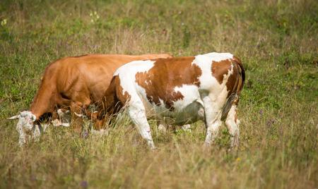 grazing cows: Grazing cows.