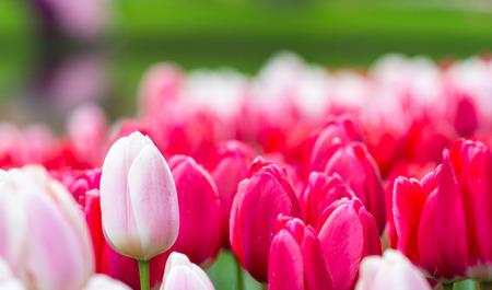 keukenhof: Blooming colors of Keukenhof gardens, The Netherlands. Stock Photo