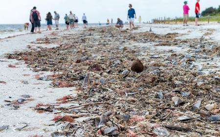 shelling: Shells on Captiva Island, Florida. Stock Photo
