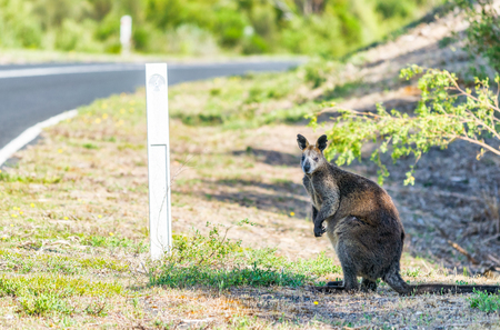 Australian Kangaroo along the forest, Australia.