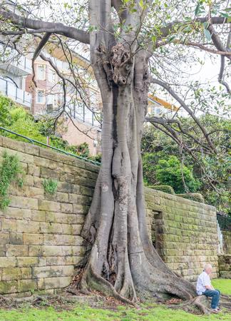 royal: Bare tree in Sydney, Australia.