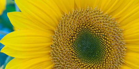 helianthus: Vivid Colors of Sunflowers in Tuscany, Italy