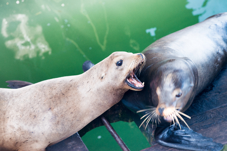Sea Lions one against the other. Stock Photo