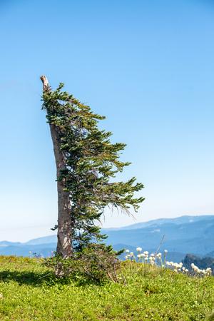 Sail shaped tree on a mountain meadow.