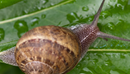 Snail moving in a Garden, Tuscany, Italy Stock Photo