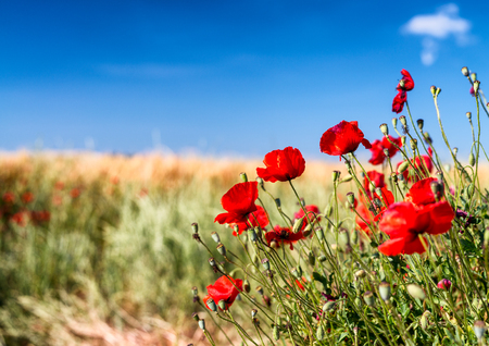 Poppies meadow, Tuscany in spring. Stock Photo