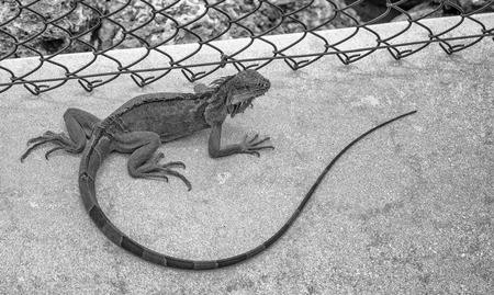 Close up of a large green iguana on a walkway, Florida.