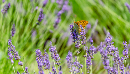 Butterfly on a lavender field.