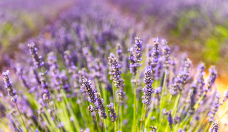 Close-up of a lavender meadow. Stock Photo