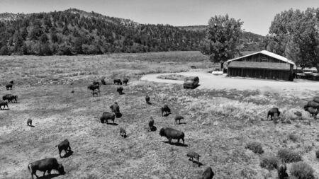 Herd of Bison or American Buffalo in high plains field in Utah, aerial view.