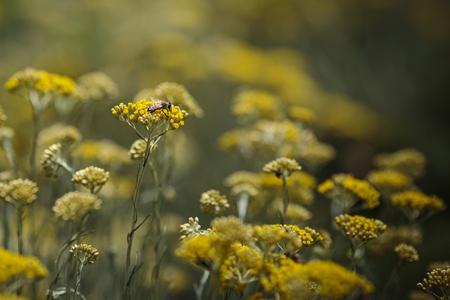 Worker Bee in a Immortelle field