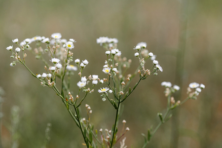Chamomile (Matricaria chamomilla). Shallow depth of field 版權商用圖片