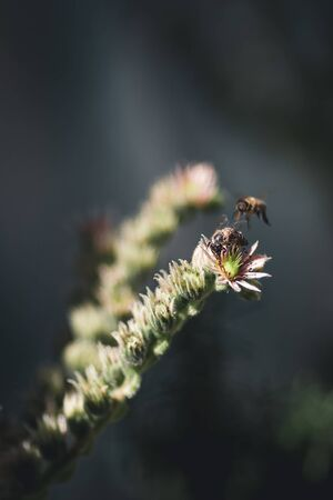 Common Honey Bee on Sempervivum Arachnoideum flower (Houseleek)