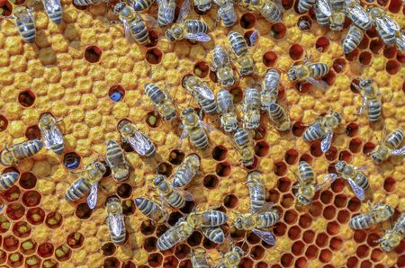 Bees in hive producing organic honey Stock Photo