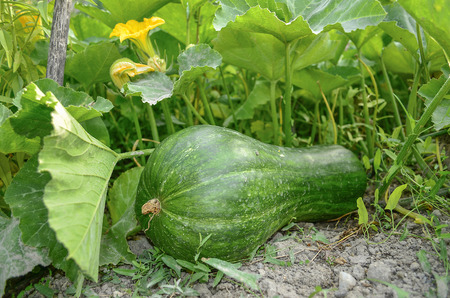 Green Pumpkin in nature