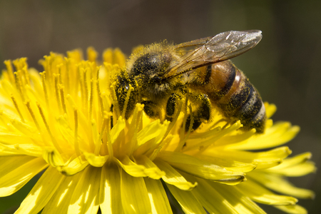 apis: Bee on dandelion, Selective focus and small depth of field, lens flare Stock Photo