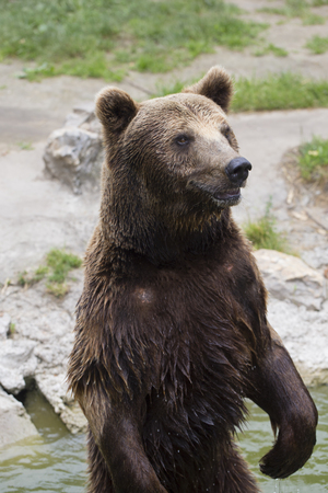The brown bear stands on the back legs in the water and looks around. Search  food for yourself
