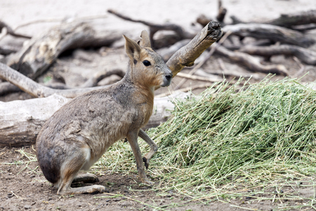 Patagonian mara sits, eats grass and looks around Stock Photo