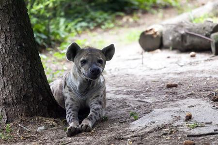 Hyena lies on the ground and looks around Stock Photo