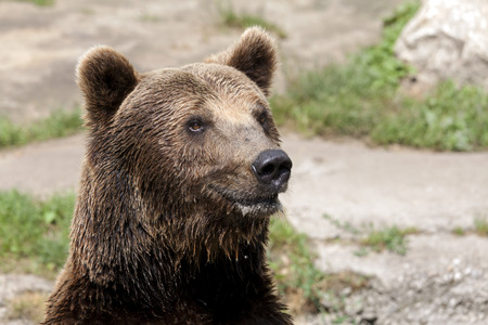 he: Close up brown bear looks around. He is looking for food