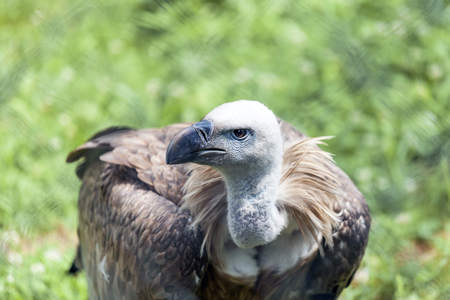 Griffon vulture (Gyps fulvus) looks around and looks for food for himself